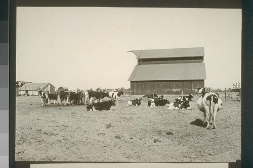 No. 229. Dairy herd owned by Jim Braden, allotment 238, August 14, 1923