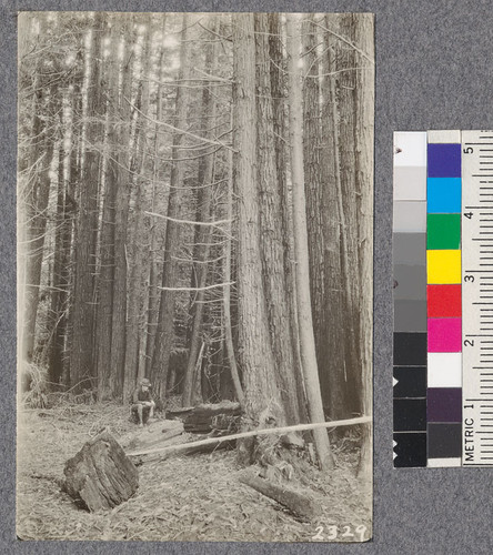 Secondgrowth Redwood Yield Study. North fork of Gualala - plot #7. A 40 year old stand of pure redwood, 89 M.B.M. per acre. D. Bruce - Oct. 1922