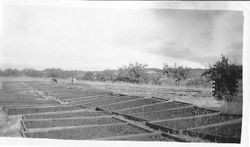 Dick Richard's Dry Yard of Prunes in Windsor, about 1920s
