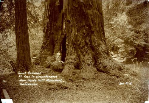 Calisphere Redwood Tree In Muir Woods National Monument