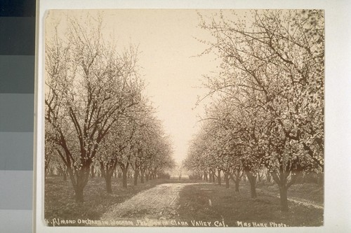 Almond orchard in blossom, February, Santa Clara Valley, California. [No. cropped]
