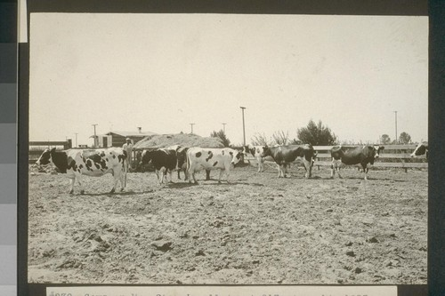 No. 239. Cows on Mr. Stoop's allotment 213, Aug. 14, 1923