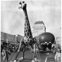 A spindly legged giraffe moves along J Street with a bulging hippopotamus close behind in the annual giant baloon parade