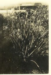 New Zealand Flax, about 1927