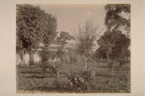 Residence of Chas. T. Wilkinson, Showing Prune Trees and Young Grape Vines, Adjoining El Verano