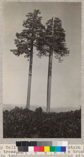 Camp Califorest. Two large western yellow pine trees standing exposed in a brush field at the top of Bear Creek road and adjoining the cattle drive. The trees show the wind-swept chracter of the crowns, the clean stems and smooth trunks that are so characteristic of the large trees standing above the brush. E.F. July 1931