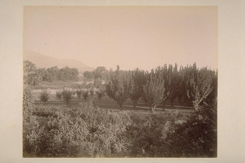 Cherry Orchard of Chas. T. Wilkinson, Adjoining El Verano