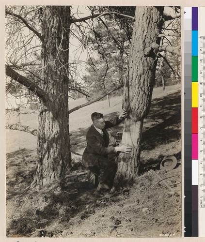 [Robert Marshall looking at a tree.]