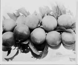 Plums JJ-12 (E.T.) on a branch, July 1929
