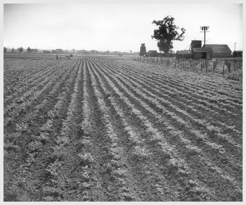 A 10-acre truck crop ranch at Compton, California, formerly farmed by Japanese, now being run by B. G. Moriset.--Photographer: Stewart, Francis--Compton, California. 11/19/42