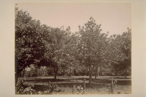 """Sobre Vista"", Orange Orchard of Col. Geo. F. Hooper"