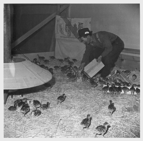 M. Iseri is shown feeding baby bronze turkeys on the poultry farm here. For 26 years he owned and operated a 60 acre turkey farm at Marysville, California. Photographer: Stewart, Francis Newell, California
