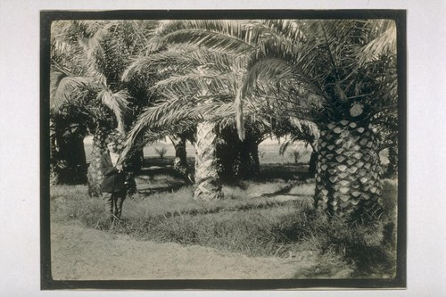Phoenix Canarensis Palms at Furnace Creek Ranch