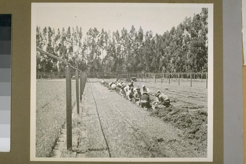 Laborers picking seedlings from the beds after digging same