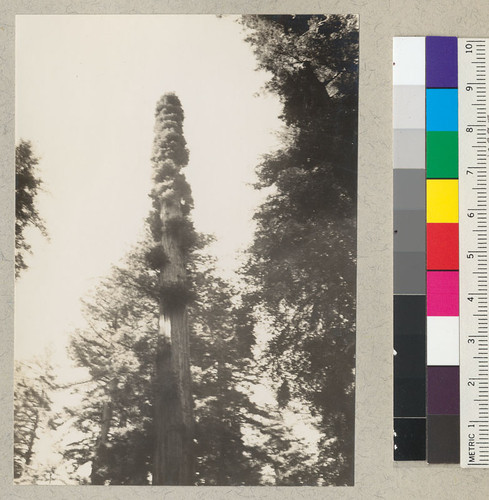 Topped tree in Richardson Grove. Sprouts in their third season. From south and from east edge of large exhibit stump. See also #5738 and #5753. July 5, 1935. E.F