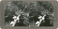 Leaves and cones of the Bishop Pine. (Pinus muricana), S 239