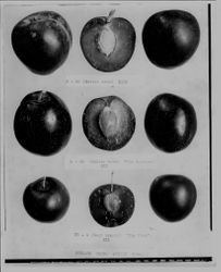 Burbank Plums, three rows of whole plums and plum halves with captions