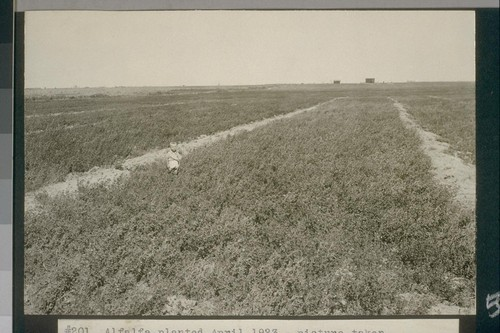 No. 201. Alfalfa planted April 1923 - picture taken August 14, 1923