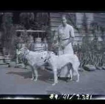 A young woman holding two wolfhounds on leashes