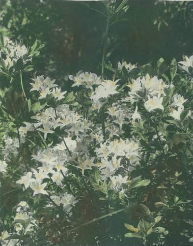 Calisphere white lily like flowers on a bush white lily like flowers on a bush mightylinksfo