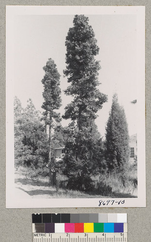 Agathis robusta and Italian cypress on Riverside campus, University of California. June 1953. Metcalf