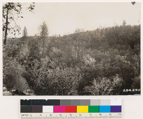 Looking southeast at north slope of dense woodland type in Aiken soil below 500 feet in elevation. Near Wyandotte, Butte County. Dominants are Quercus kelloggii with scattering ponderosa and Digger pines. Arctostaphylos viscida is common. Same as photo No. 284295
