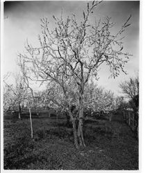 "Plum tree K-22 ""Jolly"" (largest tree), Elephant Heart Plum in bloom at Gold Ridge Experiment Farm, March 11, 1929"