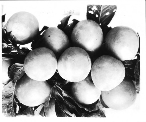 Plums JJ-9 Giant on a branch, July 1929