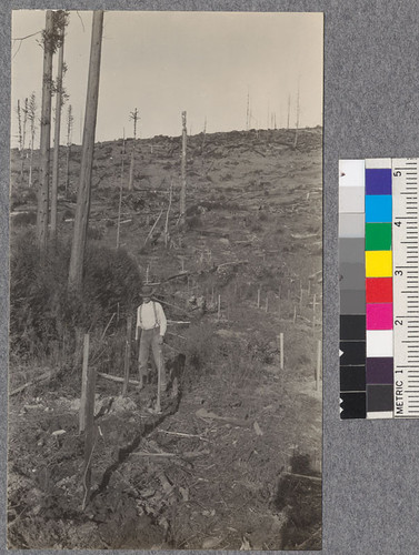 Looking upward across Campbell Creek planting area, Mendocino County. Shows first row planted. Norway Maples from California Nursery Co. Also method of staking and clump of redwood sprouts. February 1921