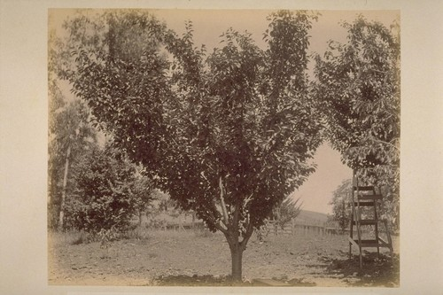 Cherry Tree, in Caleb Carriger Orchard