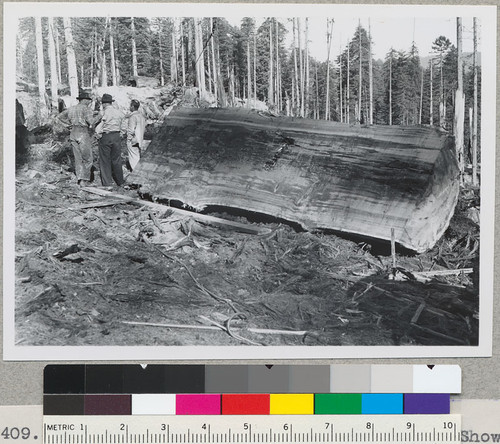 Splitting rotten-center redwood logs. Showing clear cant ripped off a 61'' x 72'' x 24' log. Log No. 1. 132 sq. ft. Time: 18 minutes of actual sawing time. Arcata Redwood Company, Orick, California. 1-17-48. E.F