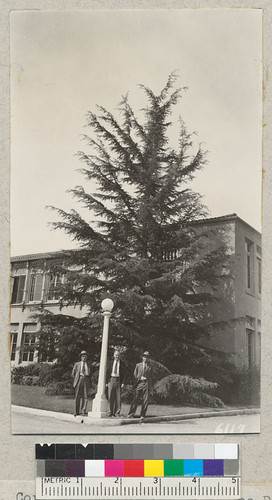 Osterman, Cory and Scherman with a nice Deodar Cedar at corner of Tustin School, Orange County. Metcalf - 1937