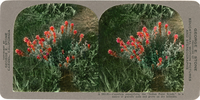 "Castilleja angustifolia, the ""Indian Paint Brush,"" is a native of gravelly soils and grows on dry hillsides, A 583.81"