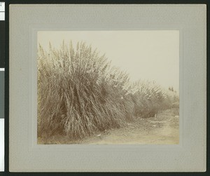 Large swath of pampas grass along a dirt road