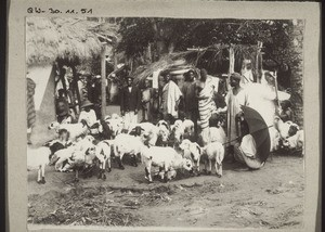 Gold Coast: Market for sheep in Dodowa