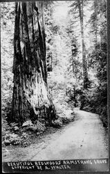 Armstrong Woods Grove, about 1930