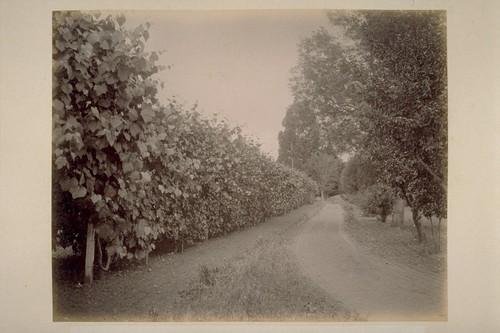 Entrance Drive and Grape Arbor, Ewell Residence