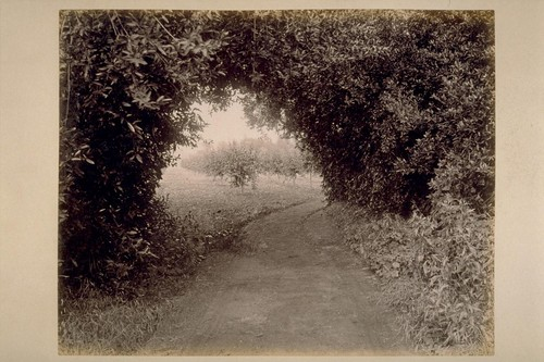 Natural Arch of Laurels, on road from Residence of Geo. H. Maxwell to El Verano, looking East, Showing Prune Orchard Beyond