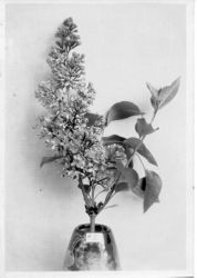 Burbank lilac seedling in a vase, about 1928