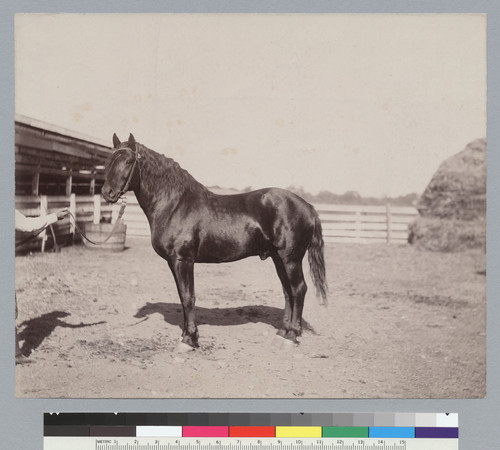 """Voltaic,"" thoroughbred horse owned by J.P. Smith. [photographic print]"