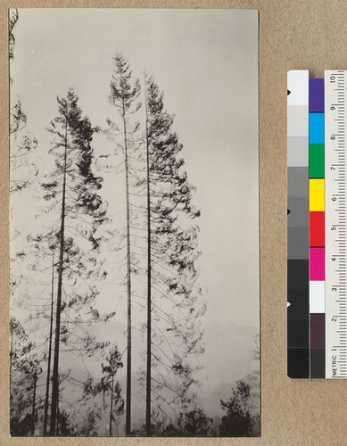 "Redwood Utilization Study. The type of white fir trees mixed with the redwood on area of the 1928 Redwood Utilization Project. About 18"" diameter at breast height and 150' high. The bushier tree to left is a young redwood. E.F. July, 1928"