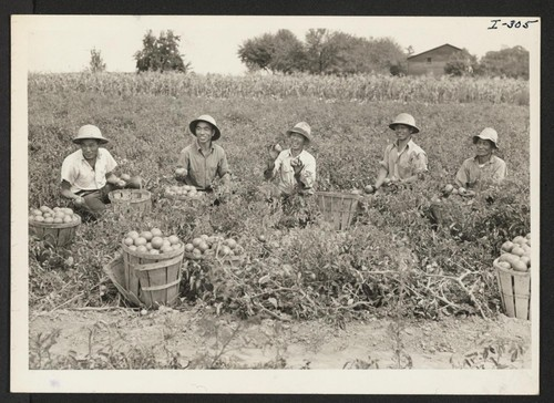 Harvesting tomatoes on the farm of Herman S. Heston in Newtown, Bucks County, Pa., are five Issei farmers who were