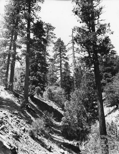 Get big pines