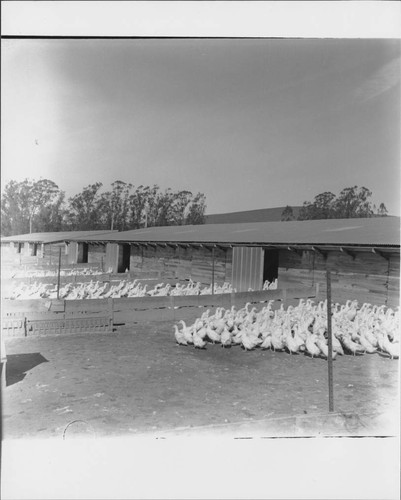 Ducks on a farm near Petaluma, California, 1953