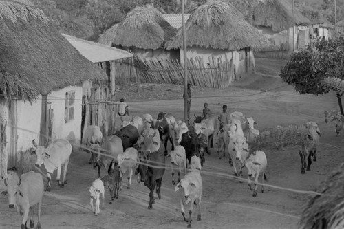 Cattle herd walking through town, San Basilio de Palenque, 1976