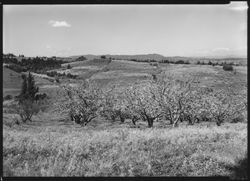 Apple orchards in bloom near Sebastopol