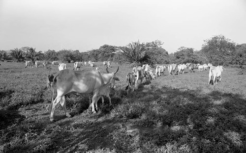 Cattle roaming in a field, San Basilio de Palenque, 1976