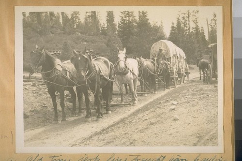 An Old time jerk line freight team, hauling freight from Truckee, Calif. to Sierra City, Sierra Co. Distance 63-miles and it takes 7 days to make a round trip. See the Bells on the lead horses