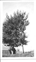 Large acacia tree at Mill Station Road in Sebastopol, location of the Rosebrook Farm owned by William and Leona Rosebrook