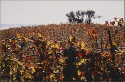 Unidentified vineyard in fall color near Healdsburg, California, about 1988